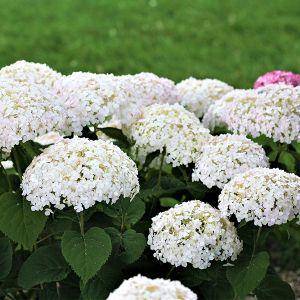Invincibelle Wee White® Hydrangea