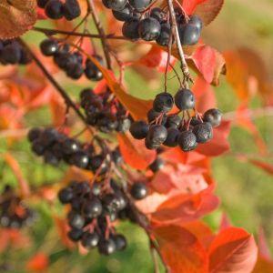 Iroquois Beauty Black Chokeberry