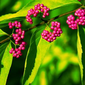 Issai Beautyberry