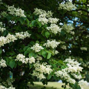 Ivory Pillar™ Japanese Lilac Tree