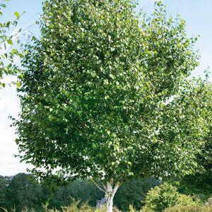 Jacquemontii Himalayan Birch