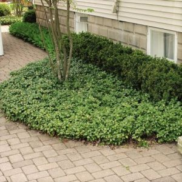 Japanese Spurge Green Carpet