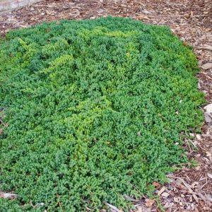 Green Mound Japgarden Juniper