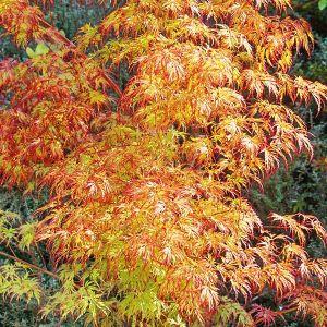 Jeddeloh Orange Japanese Maple