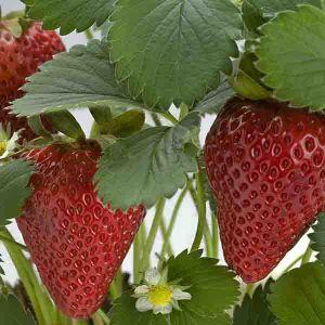 Jewel Strawberry Bush