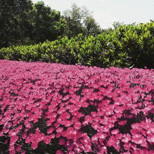 Kahori® Dianthus