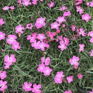 Kahori® Pink Dianthus