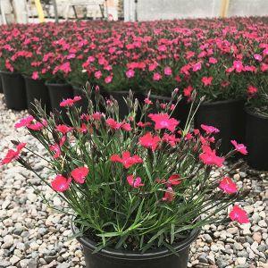 Kahori® Scarlet Dianthus