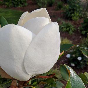 Kay Parris Magnolia Tree