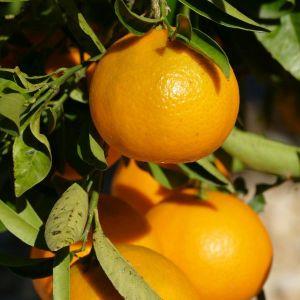 Lane Late Navel Orange Tree