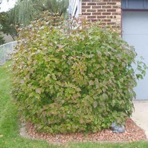 Spring Red Compact Cranberrybush Viburnum