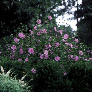 Lavender Chiffon® Rose of Sharon Shrub