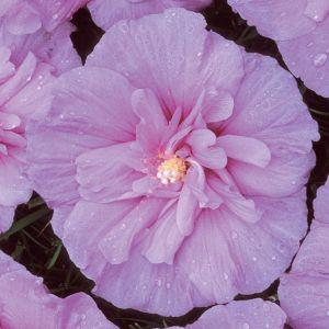 Lavender Chiffon® Rose of Sharon Tree