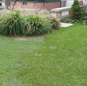 Legacy Buffalo Grass Plugs
