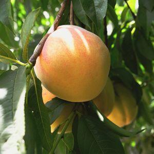 Lemon Elberta Peach Tree