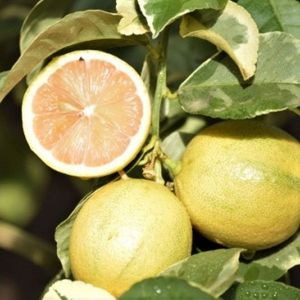 Variegated Pink Lemon Tree