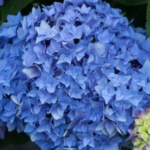 Let's Dance® Rhythmic Blue™ Reblooming Hydrangea