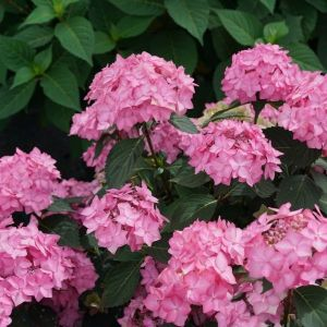 Let's Dance® Can Do!™ Hydrangea