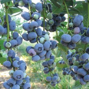 Liberty Blueberry Bush