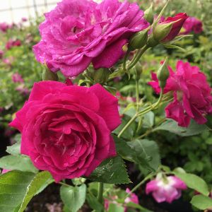 Life's Little Pleasures™ Miniature Rose