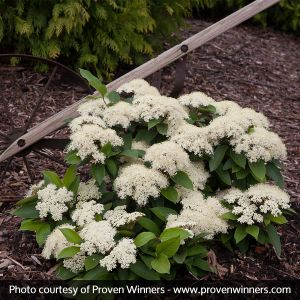 Lil Ditty® Witherod Viburnum