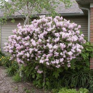 Miss Kim Lilac Tree