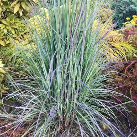 Little Bluestem Grass