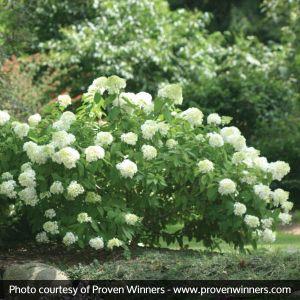 Little Lamb Hydrangea