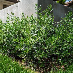 Little Ollie® Dwarf Olive Tree