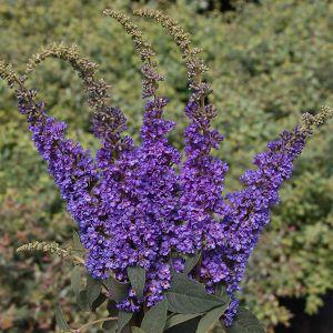 Lo & Behold® Blue Chip Jr. Butterfly Bush