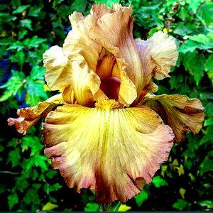 Lord of Rings Tall Bearded Iris