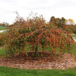 Louisa Flowering Crabapple Tree
