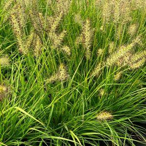 Lumen Gold™ Fountain Grass