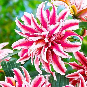 Magic Star Lily