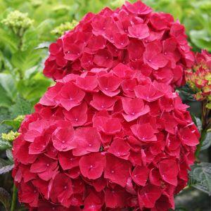 Magical® Ruby Red Hydrangea