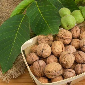 Manregion English Walnut Tree