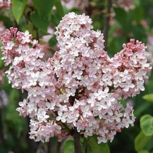 Marie Francis Lilac
