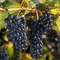 Marquette Grape Vine
