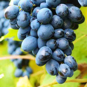 Mars Grape Vine