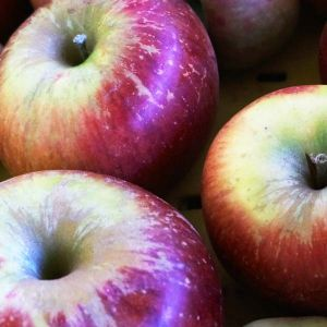 Melrose Apple Tree