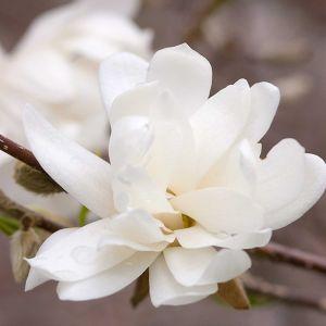 Merrill Magnolia Tree