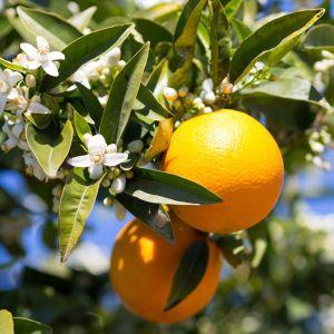 Midknight Valencia Orange Tree
