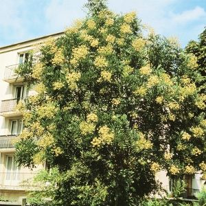Millstone Japanese Pagodatree