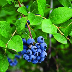 Mini Blues Blueberry Bush