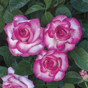 Miss Congeniality™ Rose