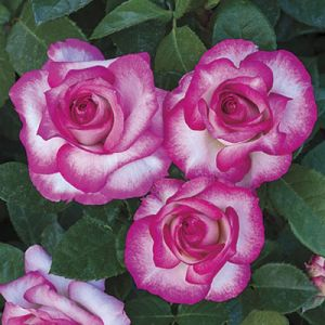 Miss Congeniality™ Rose Tree