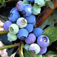 Misty Blueberry Bush