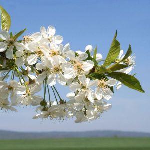USDA Montmorency Cherry Tree