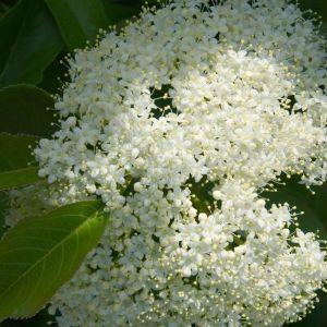 Nannyberry Viburnum