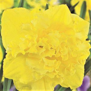 Flyer Daffodil
